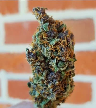 Purple Queen > Royal Queen Seeds