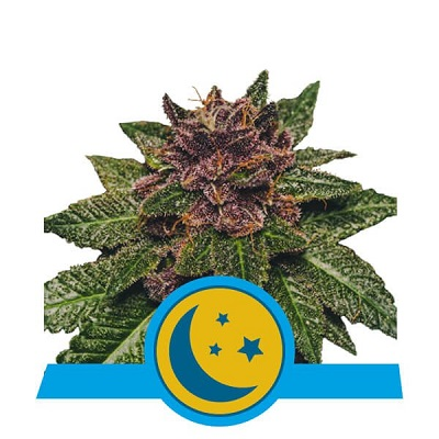 Purplematic CBD > Royal Queen Seeds