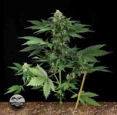 Roadrunner Automatic > Dinafem Seeds