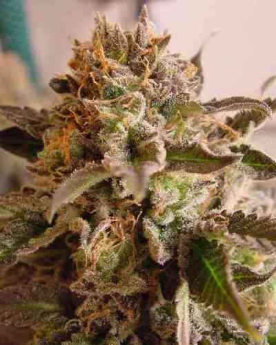 Rock Bud > Soma Seeds