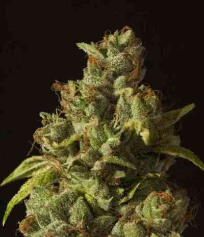 Rollex OG Kush > The Devil's Harvest Seed Company