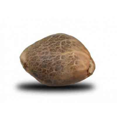 Royal Bluematic semence > Royal Queen Seeds