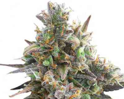 Royal Bluematic Seed > Royal Queen Seeds