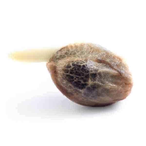 Royal Caramel > Royal Queen Seeds
