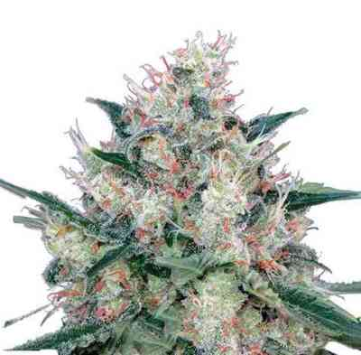 Royal Caramel Samen > Royal Queen Seeds