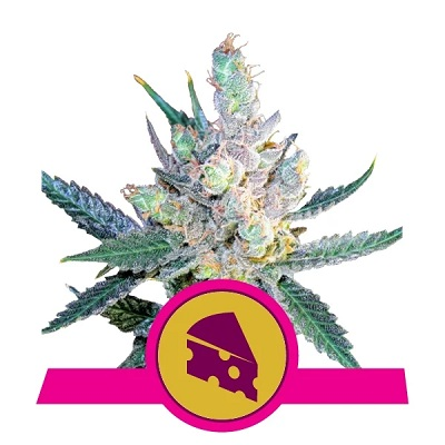 Royal Cheese (Fast Flowering) > Royal Queen Seeds