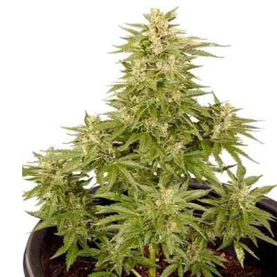Royal Critical Automatic > Royal Queen Seeds
