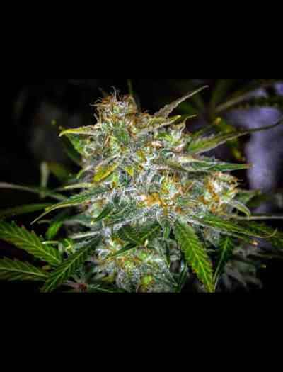 Royal Gorilla Automatic > Royal Queen Seeds