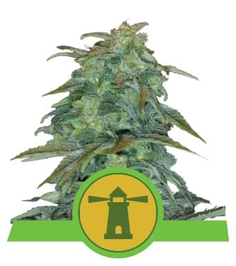 Royal Haze Automatic > Royal Queen Seeds