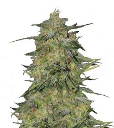 Royal Highness > Royal Queen Seeds