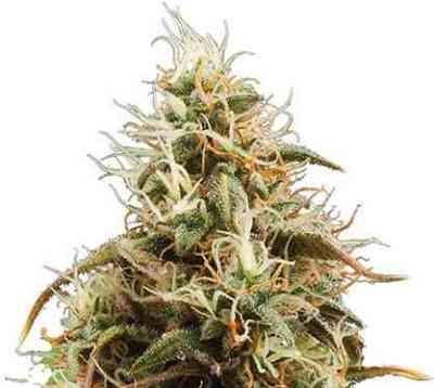 Jack Herer Automatic semilla > Royal Queen Seeds