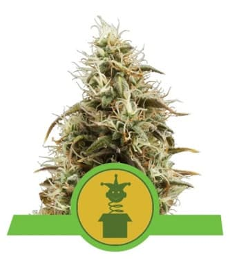 Royal Jack Automatic > Royal Queen Seeds