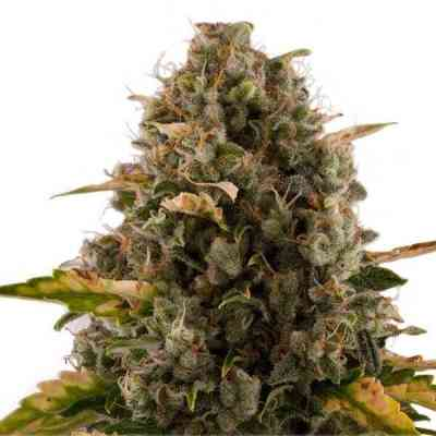 Royal Moby Seed > Royal Queen Seeds