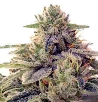 Shiskaberry > Barney\'s Farm
