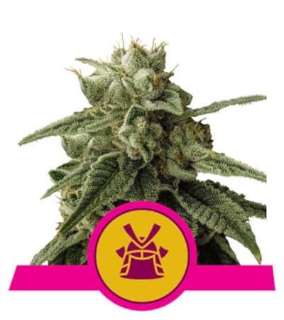 Shogun > Royal Queen Seeds