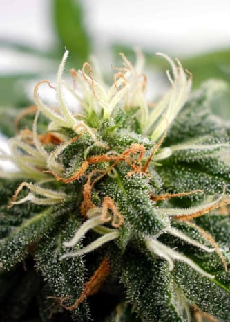 Silver Widow > Kannabia Seeds