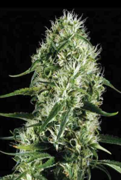 Silversurfer Haze > Blim Burn Seeds