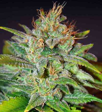 Skunk 47 > World of Seeds