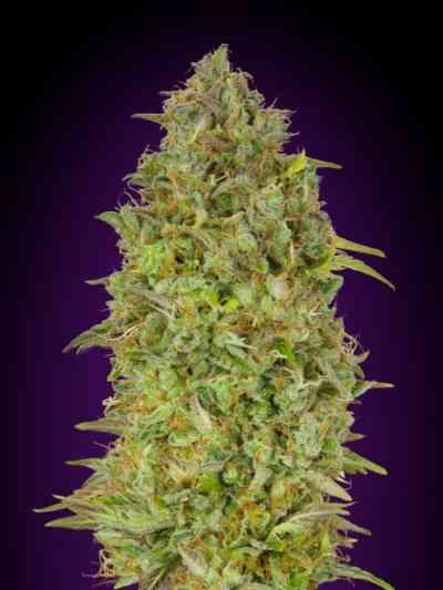 Skunk 47 Samen > Advanced Seeds