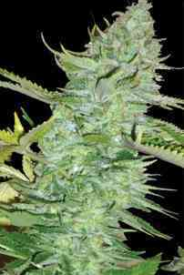 Skunk Afghani > Original Sensible Seeds