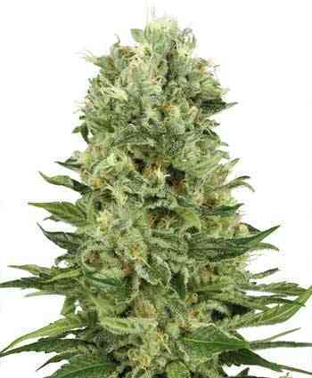Skunk Automatic > White Label Seeds