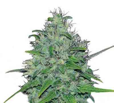 Skunk XL > Royal Queen Seeds