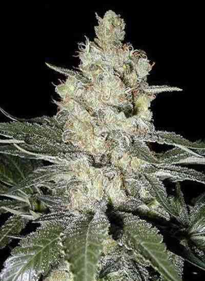 Homegrown Skunk #1 > Homegrown Fantaseeds