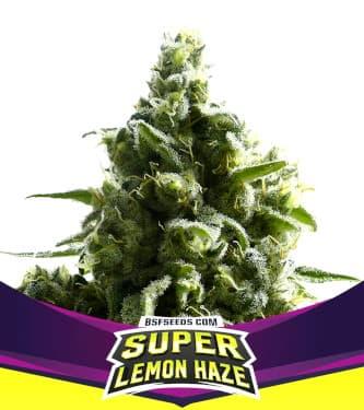 SLH – Super Lemon Haze > BSF Seeds