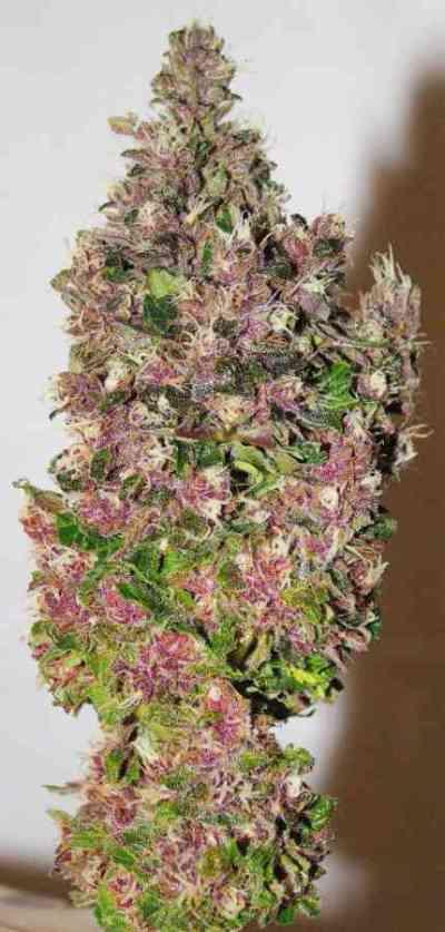 Smooth Smoke > Tropical Seeds Company
