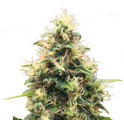 Somango XL > Royal Queen Seeds