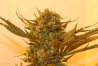 Sour P. > Resin Seeds