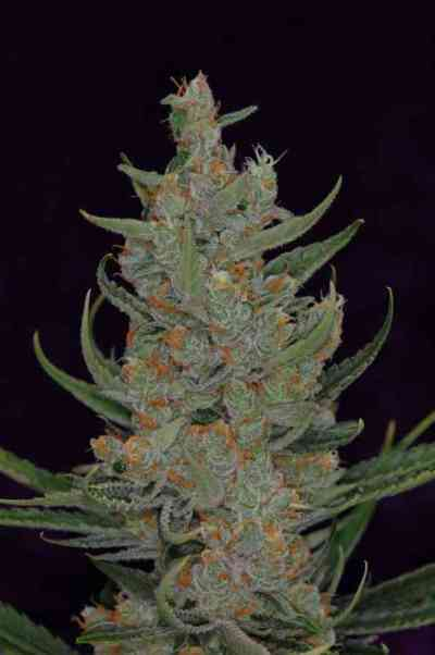 Space Bomb Samen > TGA Subcool Seeds