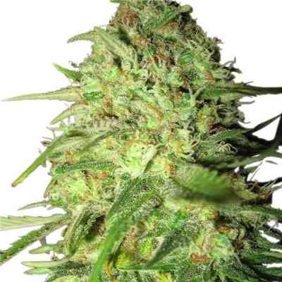 Special Queen #1 > Royal Queen Seeds