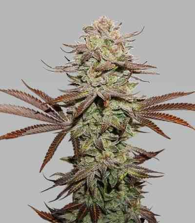 Sticky Fingers Autoflower > Seed Stockers