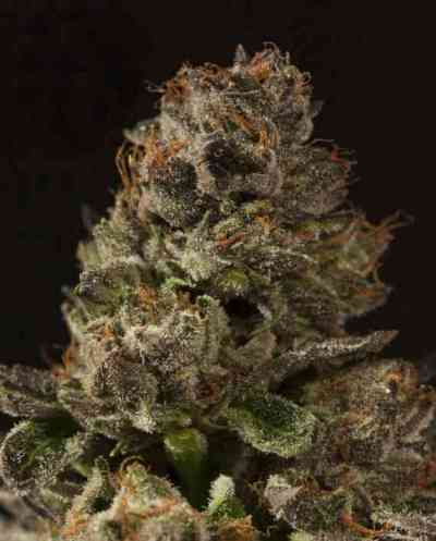 Strawberry Sour Diesel > The Devil\'s Harvest Seed Company