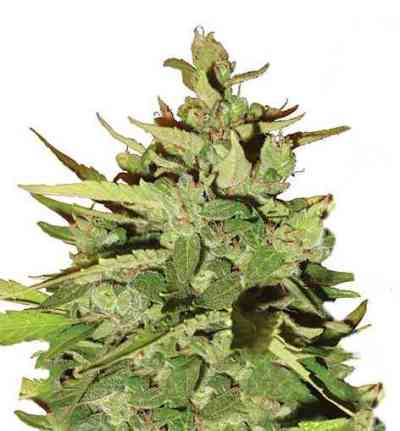 Stress Killer Automatic > Royal Queen Seeds