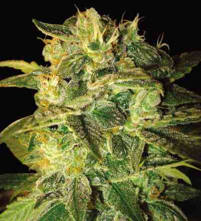 Sugar Mango Ryder > World of Seeds
