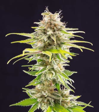 Super OG Kush > Kannabia Seeds