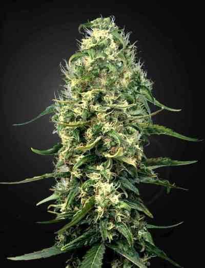 Super Silver Haze CBD > Green House Seed Company