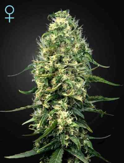Super Silver Haze > Green House Seed Company