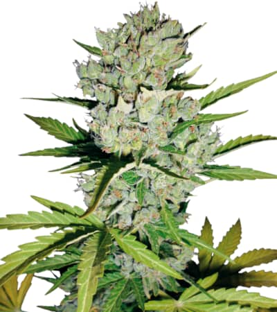 Super Skunk Automatic > White Label Seeds