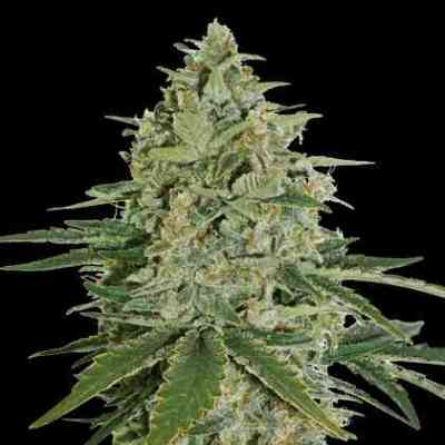 Super Skunk > Seed Stockers