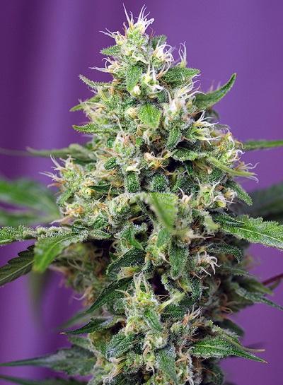 Sweet Amnesia Haze XL Auto > Sweet Seeds