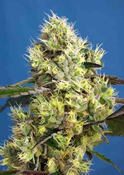 Sweet Gelato Auto > Sweet Seeds