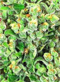Sweet Kush > Original Sensible Seeds