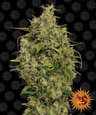Sweet Tooth > Barney`s Farm
