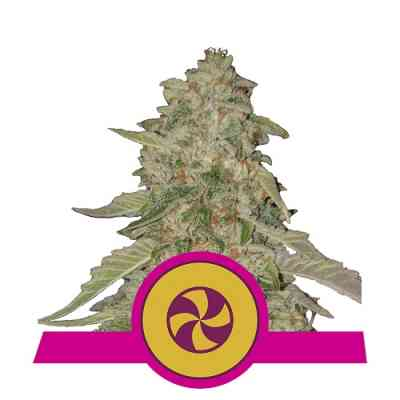 Sweet Zkittlez > Royal Queen Seeds