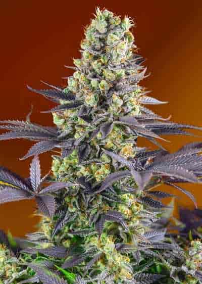 Sweet Zkittlez > Sweet Seeds