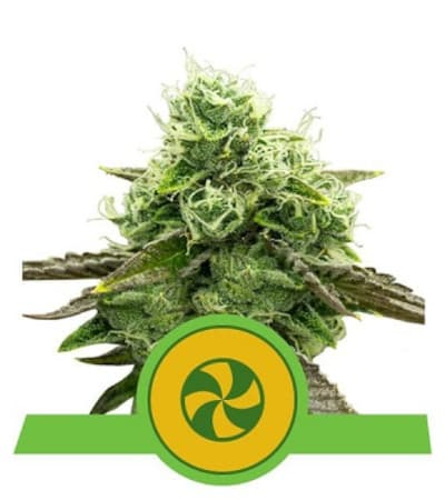 Sweet ZZ Automatic > Royal Queen Seeds
