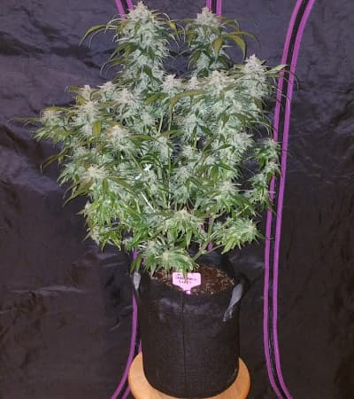 Tangie\'matic > Fast Buds Company